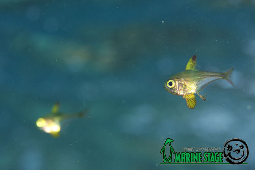 串本ダイビングパーク前ビーチ ツマグロハタンポの幼魚