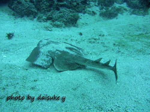 イスズミ礁 カスザメ