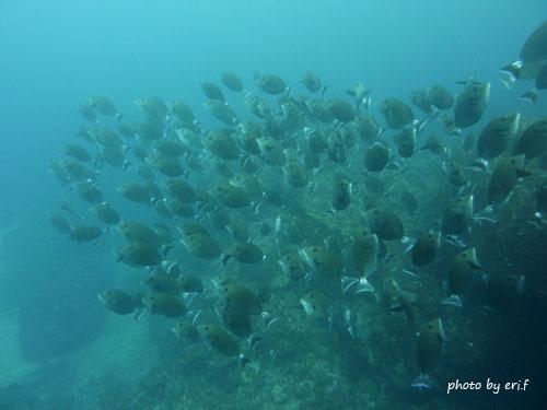 イスズミ礁 ニザダイの群れ群れ群れ