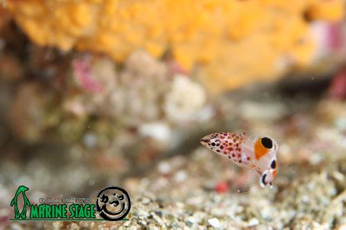 住崎 季節外れのカンムリベラの幼魚