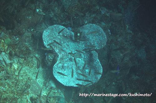 中黒礁 ミッキーサンゴ♪