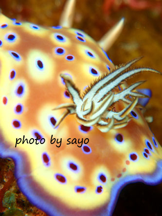 グラスワールド オトヒメウミウシ