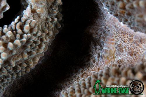 イスズミ礁 ワライヤドリエビのペア