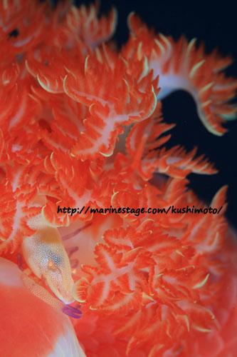 ウミウシカクレエビonミカドウミウシ