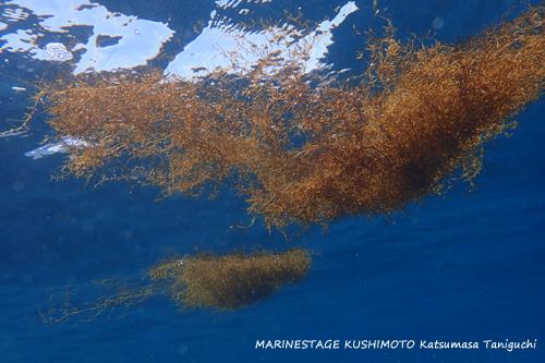 グラスワールド 流れ藻