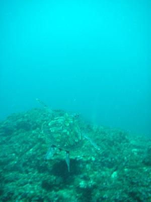 グラスワールド 逃げるアオウミガメ