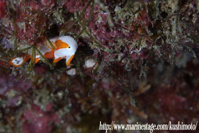 約1cm!!クマドリカエルアンコウの幼魚