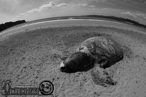 お店の前の砂浜 アオウミガメの死骸