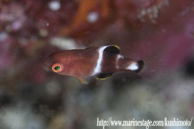 タキベラの幼魚