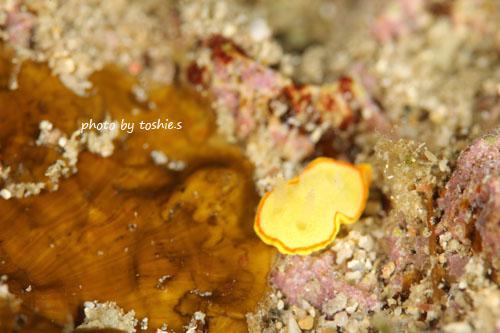 サンビラ ミツイラメリウミウシ