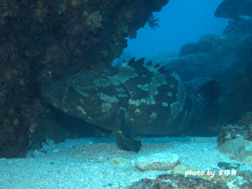 イスズミ礁 クエハタ
