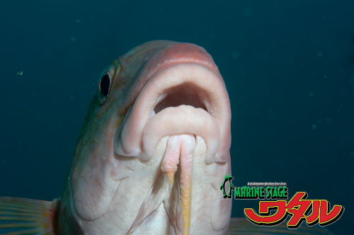 住崎  ホウライヒメジの唇