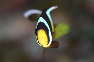 グラスワールド クマノミ幼魚