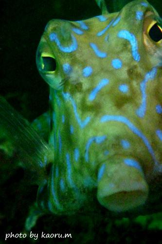グラスワールド シマウミスズメ