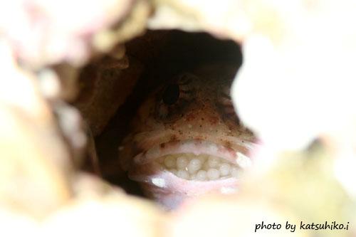 グラスワールド ジョーフィッシュの口内保育