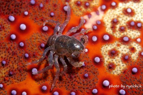 北の根 ショウジンガニのメガロパ幼生