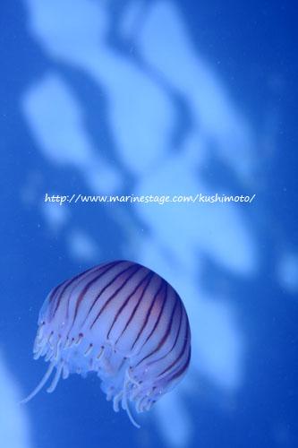 水面下 アカクラゲ