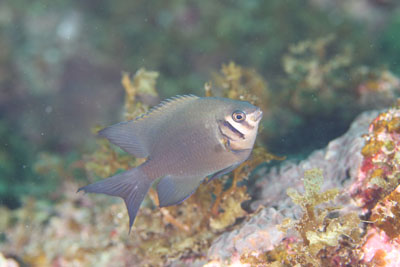 イスズミ礁 ヒレナガハギ