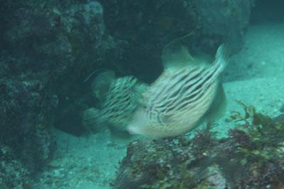 イスズミ礁 カワハギの闘争
