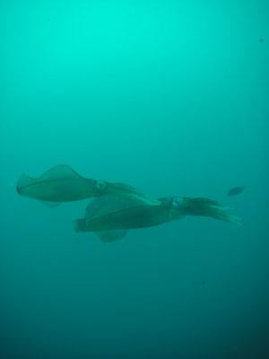 グラスワールド 今も続いているアオリイカの産卵
