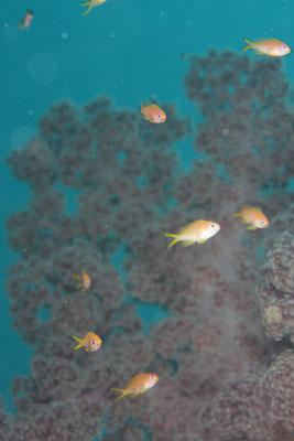 グラスワールド キンギョハナダイの幼魚達