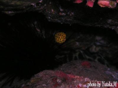 住崎 ミナミハコフグの幼魚1cmくらい
