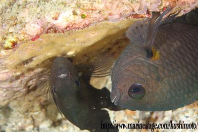 イスズミ礁 産卵中のナガサキスズメダイ