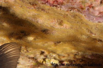 イスズミ礁 産卵直後のナガサキスズメダイの卵