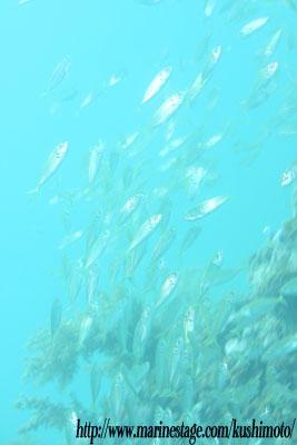 中黒礁 アジの群れ