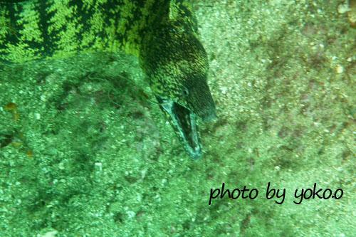 須江 地蔵岩 噛みつきウツボ