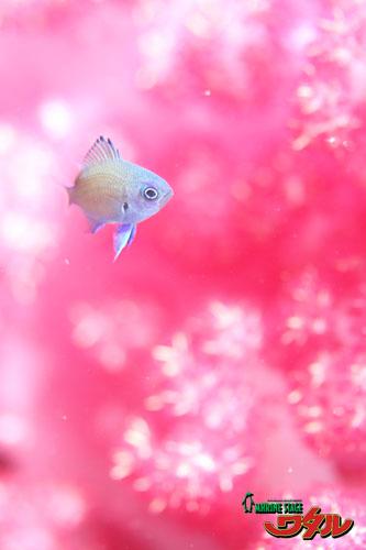 グラス アマミスズメダイ幼魚
