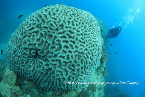 イスズミ礁 オオハナガタサンゴ