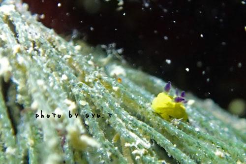 グラス コミドリリュウグウウミウシ