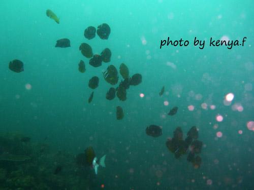 イスズミ礁 チョウチョウウオ玉