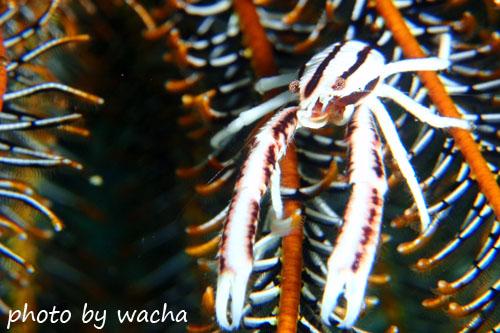 イスズミ礁 コマチコシオリエビ