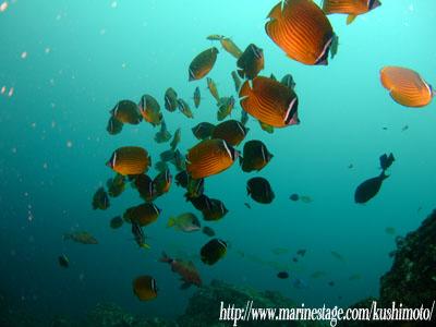 イスズミ礁 チョウチョウウオの群れ