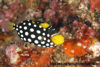 モンガラカワハギの幼魚0730