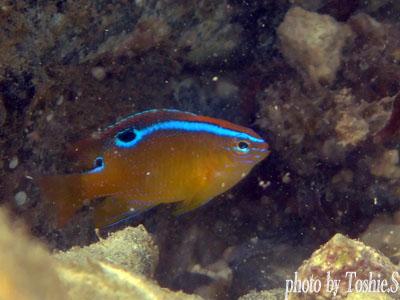 オレンジハウス前ビーチ イチモンスズメダイの幼魚