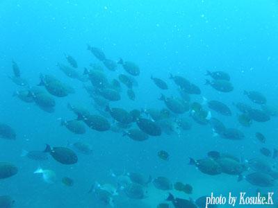 イスズミ礁 ニザダイの行列