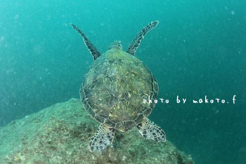 住崎 アオウミガメ