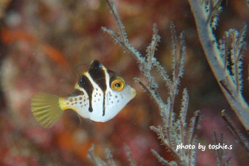 グラスワールド ノコギリハギの幼魚