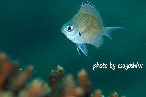 イスズミ礁 アマミスズメダイyg