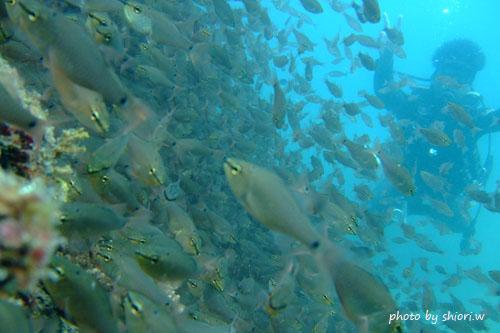 中黒礁 クロホシイシモチの大群