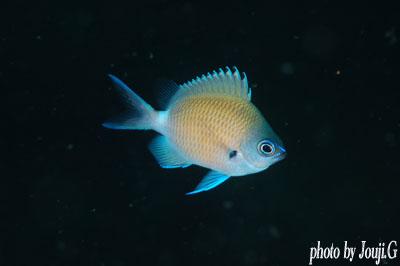 アマミスズメダイの若魚