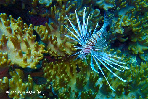 サンビラ ハナミノカサゴの若魚