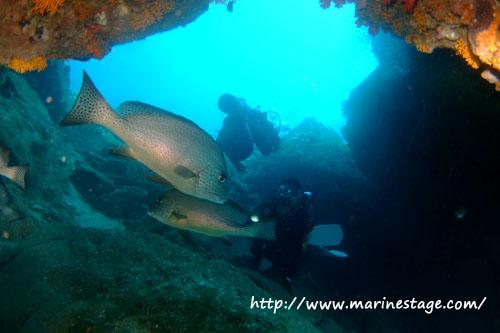 イスズミ礁 アーチの中のコロダイ