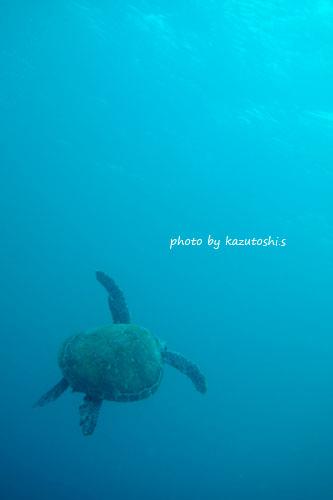 住崎 去るアオウミガメ