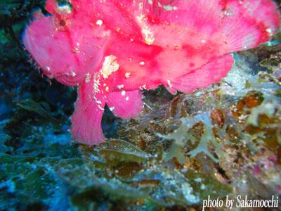 双島沖北の根 ピンク色のハダカハオコゼ