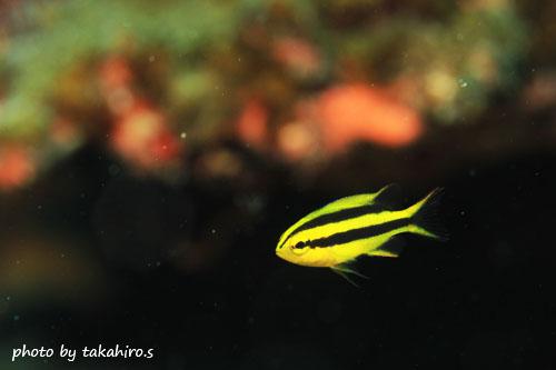 イスズミ礁 今季初!ヒレナガスズメダイの幼魚