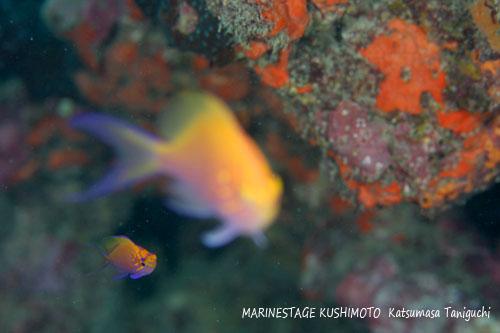 イスズミ礁 ハナゴンベの幼魚♪